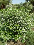 JASMINE $A BEAUTIFUL FLOWERING VIN. AROMATIC ADDITION TO ANY GARDEN ,GROW WELL IN STEADY BUT NO HARSH ENVIRONMENT /LIGHT ,SOIL MUST BE AT IT& x27;S BEST MOISTURE Stock Image