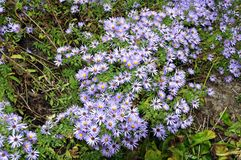 Aromatic Aster (Symphyotrichum oblongifolium) Royalty Free Stock Photo