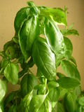 Aromatic basil  fresh herbs  Stock Images
