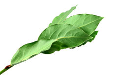 Aromatic Bay leaves ( laurel ) Royalty Free Stock Photos