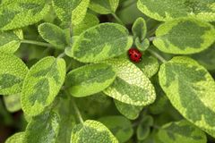 Aromatic Common Sage Salvia Officinalis Kew Gold Herb Leaves. Beautiful blurry plant background with ladybug. Aromatic Common Sage Salvia Officinalis Kew Gold royalty free stock image