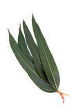 Aromatic eucalyptus leaves. Bunch of eucalyptus leaves isolated on white background Stock Photos