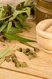 Aromatic eucalyptus tree Stock Images