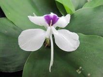 Aromatic ginger or kaempferia galanga, kencur white flower, asian tropical plant royalty free stock photo