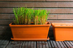Aromatic herb growing in flowerpots Royalty Free Stock Photography
