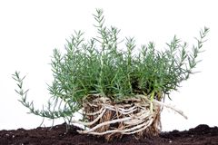 Aromatic herb isolated on white with root in soil Stock Images