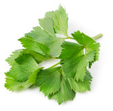 Aromatic herb lovage Stock Images