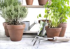 Aromatic herb potted on a garden table Stock Photos