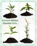 Aromatic herbs Royalty Free Stock Photo