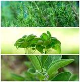 Aromatic herbs Stock Image