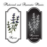 Aromatic herbs, hyssop Royalty Free Stock Photo