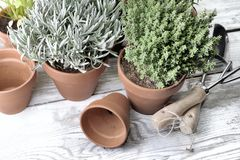 Aromatic herbs potted on a garden table Royalty Free Stock Photography