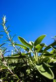 Aromatic herbs salvia and rosemary stock photo