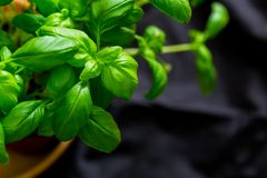 Macro shot of basil plants shot at shallow depth of field. Aromatic herbs series: macro shot of basil plants shot at shallow depth of field Royalty Free Stock Photos