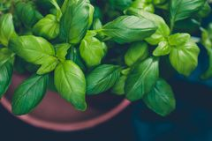 Macro shot of basil plants shot at shallow depth of field. Aromatic herbs series: macro shot of basil plants shot at shallow depth of field Royalty Free Stock Image