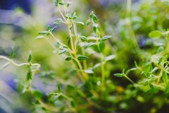 Macro shot of basil and thyme plants shot at shallow depth of fi. Aromatic herbs series: macro shot of basil and thyme plants shot at shallow depth of field Royalty Free Stock Photo