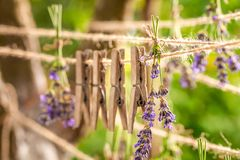 Aromatic lavender dried on laundry lines in garden. Aromatic lavender dried on laundry lines in summer garden stock photo