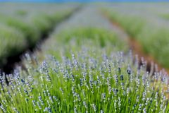 Aromatic lavender field Royalty Free Stock Images