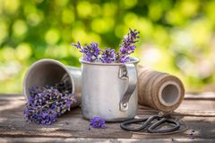 Aromatic lavender in a summer green garden royalty free stock photography