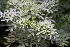 Aromatic and medicinal rue plant stock photo