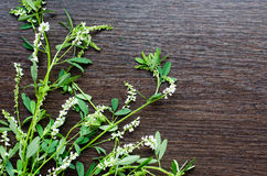 Aromatic organic natural flowering herb of sweet-clover Stock Images