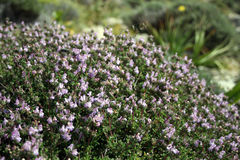 Aromatic plant. Violet flowers of Thymus. Wild bush of Mediterranean scrub in Crete - Greece Royalty Free Stock Images