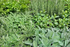 Aromatic plants Stock Images