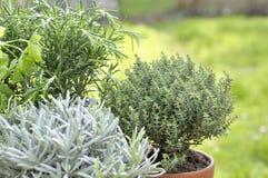Aromaticherb eingemacht in einem Garten Stockbilder