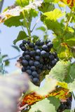 aromatique grape in south german cottage near city of stuttgart royalty free stock photos