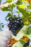 aromatique winogrono w południowej niemieckiej chałupie blisko miasta Stuttgart zdjęcia royalty free