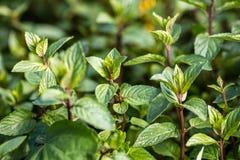 Aromatische muntknoppen en stammen in tuin voor botanisch behang stock foto's