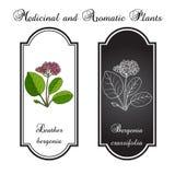 Aromatisk örtsamling - mejram Royaltyfri Illustrationer