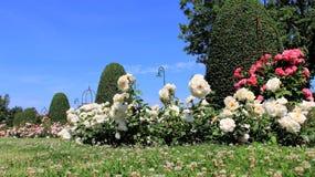Aromatisk söt färgrik rosträdgård fotografering för bildbyråer
