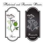 Aromatiska örter, anis Royaltyfri Illustrationer
