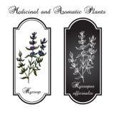 Aromatiska örter, hyssop Vektor Illustrationer
