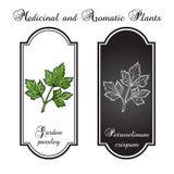 Aromatiska örter, persilja Royaltyfri Illustrationer