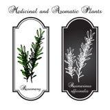 Aromatiska örter, rosmarin Royaltyfri Illustrationer