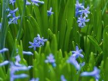 Aromatiska purpurfärgade blommor växer i trädgården Royaltyfri Foto