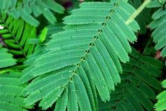 Aromatiska växter klättra för den wattleSenegalia pennataen eller för akaciapennata på grön sidabakgrund, Cha-OM för att laga mat royaltyfria bilder
