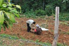 Aromatizza bio- coltivato in giungla - raccolga il processo fotografia stock