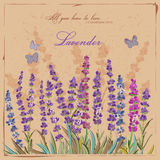 aromatyczna śródpolna ziołowa krajobrazowa lawendowa roślina Obrazy Stock