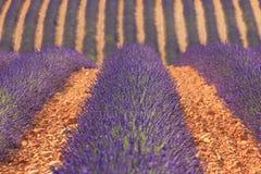 aromatyczna śródpolna ziołowa krajobrazowa lawendowa roślina Fotografia Stock
