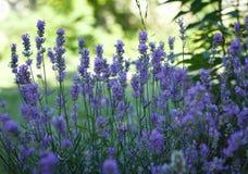 aromatyczna śródpolna ziołowa krajobrazowa lawendowa roślina Zdjęcia Stock