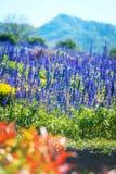 aromatyczna śródpolna ziołowa krajobrazowa lawendowa roślina Obraz Royalty Free