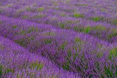 aromatyczna śródpolna ziołowa krajobrazowa lawendowa roślina Fotografia Royalty Free