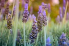 aromatyczna śródpolna ziołowa krajobrazowa lawendowa roślina piękne kwiaty fiołkowi Obrazy Stock