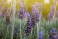 aromatyczna śródpolna ziołowa krajobrazowa lawendowa roślina piękne kwiaty fiołkowi Zdjęcia Royalty Free