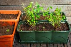 Aromatyczni ziele w flowerpots zdjęcia royalty free
