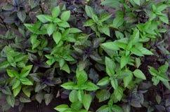 Aromatyczny roślina basil jest purpurowy, używa w kucharstwie obraz royalty free