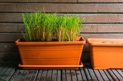 Aromatyczny zielarski dorośnięcie w flowerpots fotografia royalty free